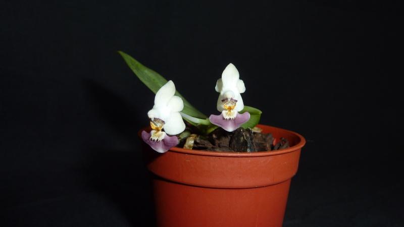 Phalaenopsis parishii 2016-028