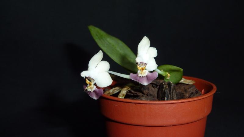 Phalaenopsis parishii 2016-029
