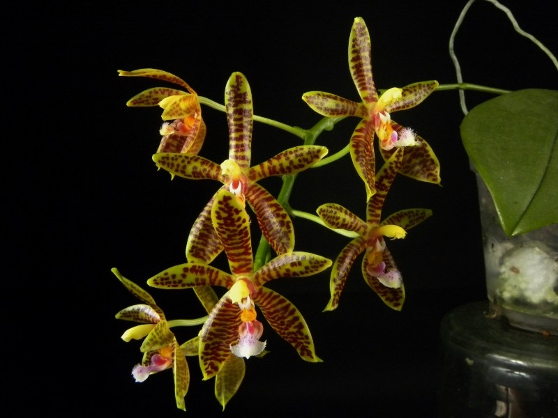 Phalaenopsis corningiana x mannii (Alcorman) Nr_33511