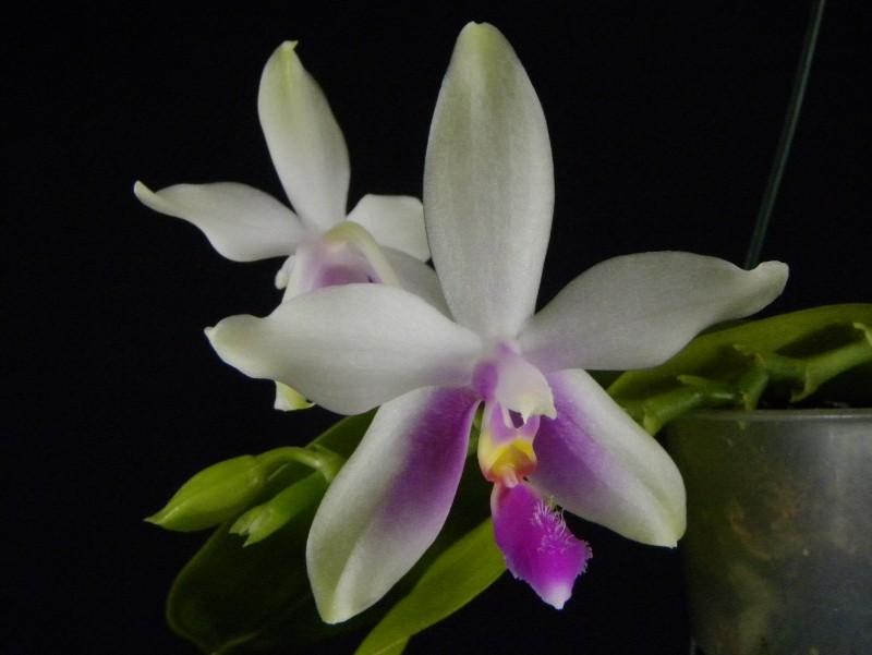 Phalaenopsis fimbriata x violacea 'Malaysia' Nr_40611