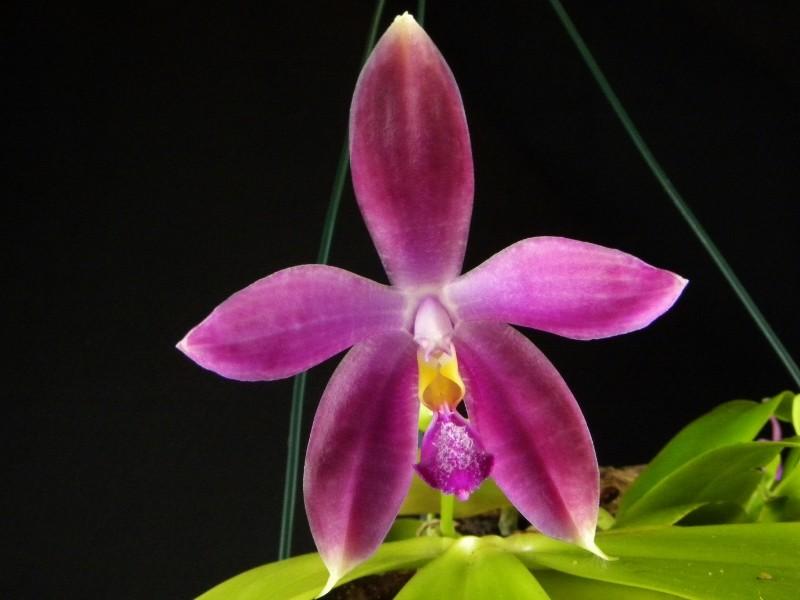 Phalaenopsis tetraspis x violacea (Jennifer Palermo) oder Phal. speciosa x violacea (Germaine Vincent) - Seite 2 Nr_44213