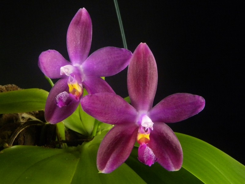 Phalaenopsis tetraspis x violacea (Jennifer Palermo) oder Phal. speciosa x violacea (Germaine Vincent) - Seite 2 Nr_44214