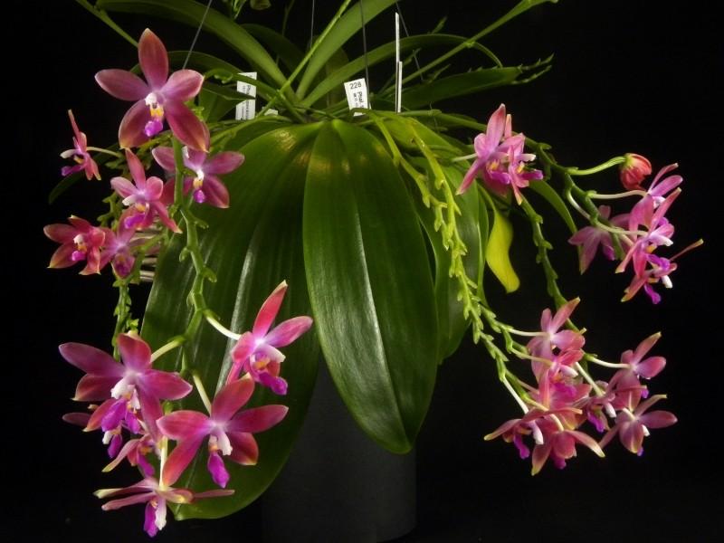Phalaenopsis tetraspis x violacea (Jennifer Palermo) oder Phal. speciosa x violacea (Germaine Vincent) - Seite 2 Nr_45610