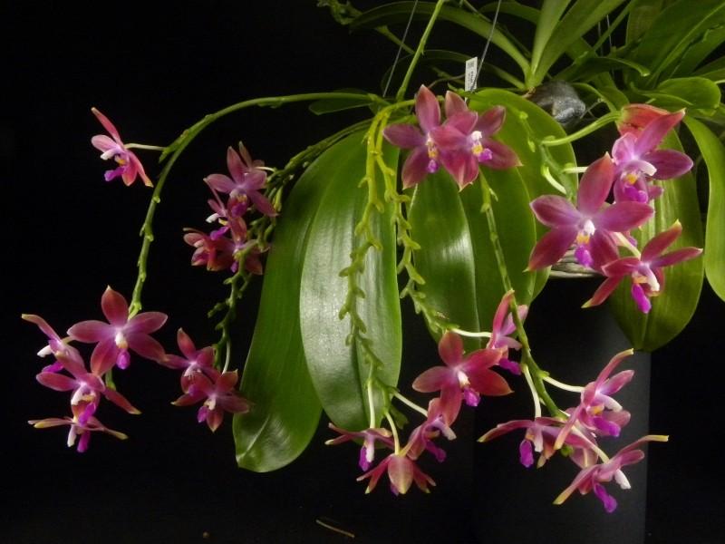 Phalaenopsis tetraspis x violacea (Jennifer Palermo) oder Phal. speciosa x violacea (Germaine Vincent) - Seite 2 Nr_45611