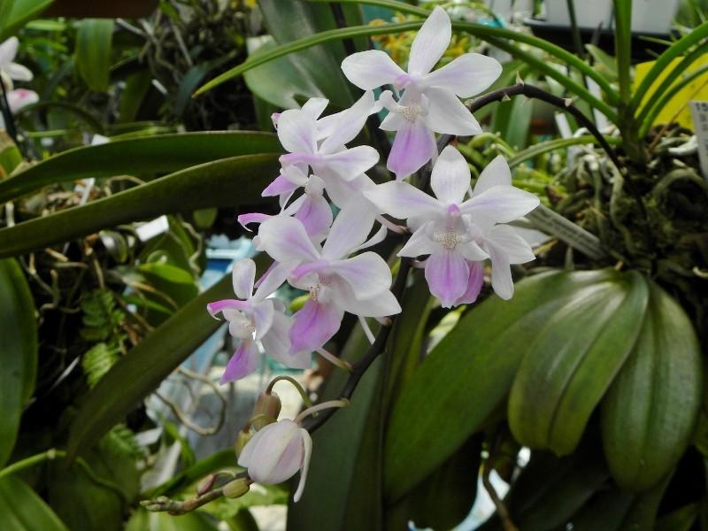 Phalaenopsis lindenii x equestris (Venus) Nr_55510