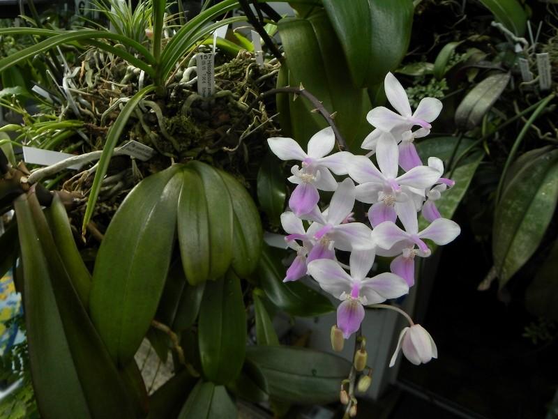 Phalaenopsis lindenii x equestris (Venus) Nr_55511
