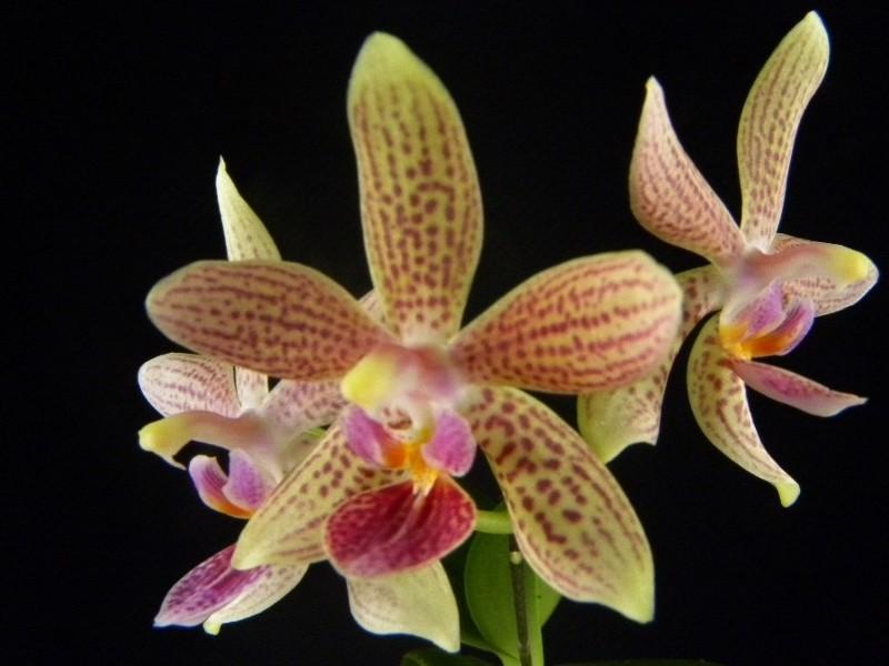 Phalaenopsis equestris x kunstleri (Musick Mini Dots) Nr_63811