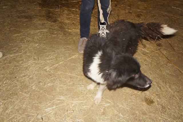 SALSA - SALSA - femelle croisée, née environ 2013, taille moyenne -(Pascani) - adoptée par Corinne (dept 49) 1_25611