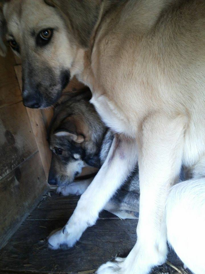 LUPI !! + de 3 ans de box !! - femelle , née environ en 2010, typée chien loup de sarloos, taille moyenne - REMEMBER ME LAND Tann11