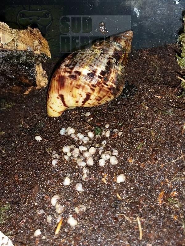 Naissances Archachatina marginata eduardi & Achatina reticulata & Caracolus 13285610
