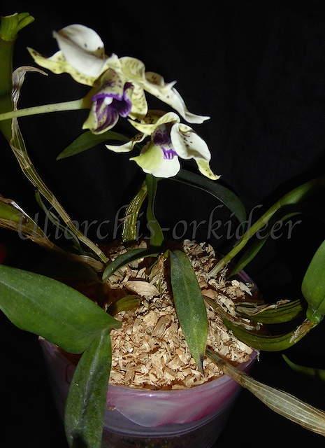 Dendrobium atroviolaceum x Hsinying Mareezuki P1040015
