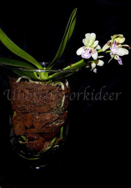 Phalaenopsis japonica ( Sedirea/Aerides japonica) P1040018