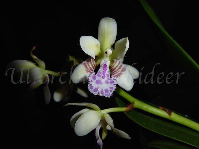 Phalaenopsis japonica ( Sedirea/Aerides japonica) P1040019