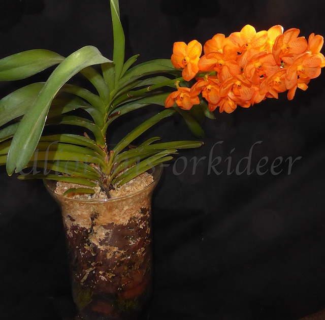 Vanda Miami Mandarin - Seite 2 P1040038
