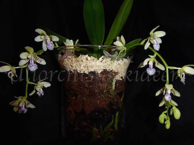 Phalaenopsis japonica ( Sedirea/Aerides japonica) P1040130