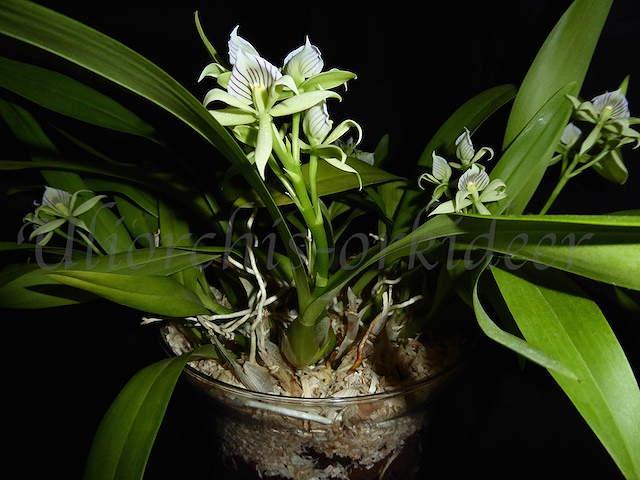 Encyclia fragrans  - Seite 2 P1040131