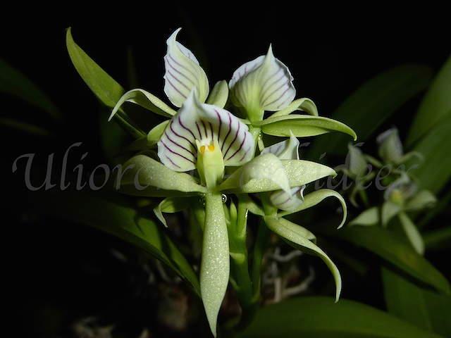 Encyclia fragrans  - Seite 2 P1040132