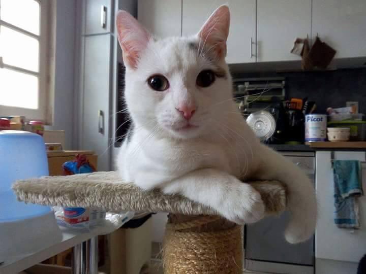 Liro - chaton blanc et tabby né le 15 Mai 2015 12607310