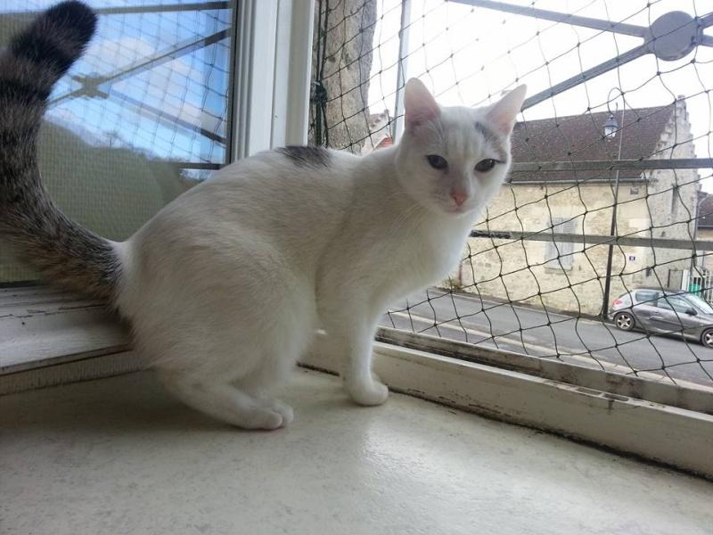 Liro - chaton blanc et tabby né le 15 Mai 2015 12642810