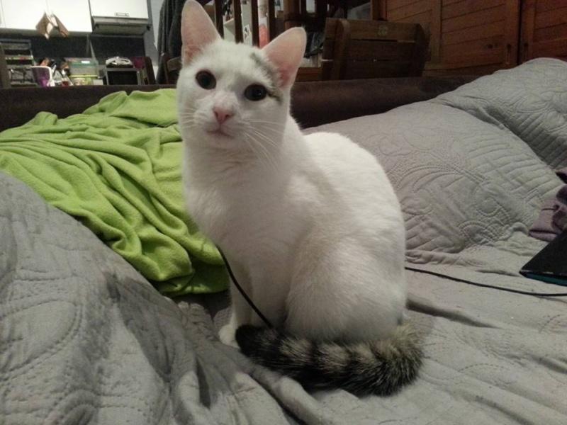 Liro - chaton blanc et tabby né le 15 Mai 2015 12650910