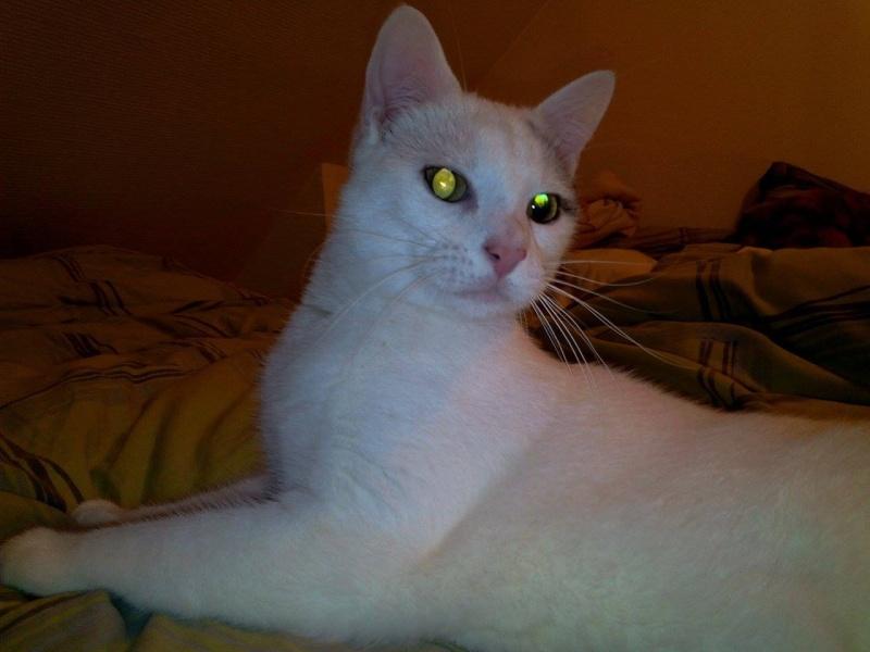 Liro - chaton blanc et tabby né le 15 Mai 2015 12655910