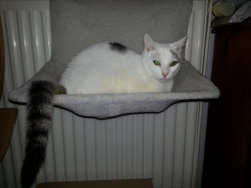 Liro - chaton blanc et tabby né le 15 Mai 2015 12696510