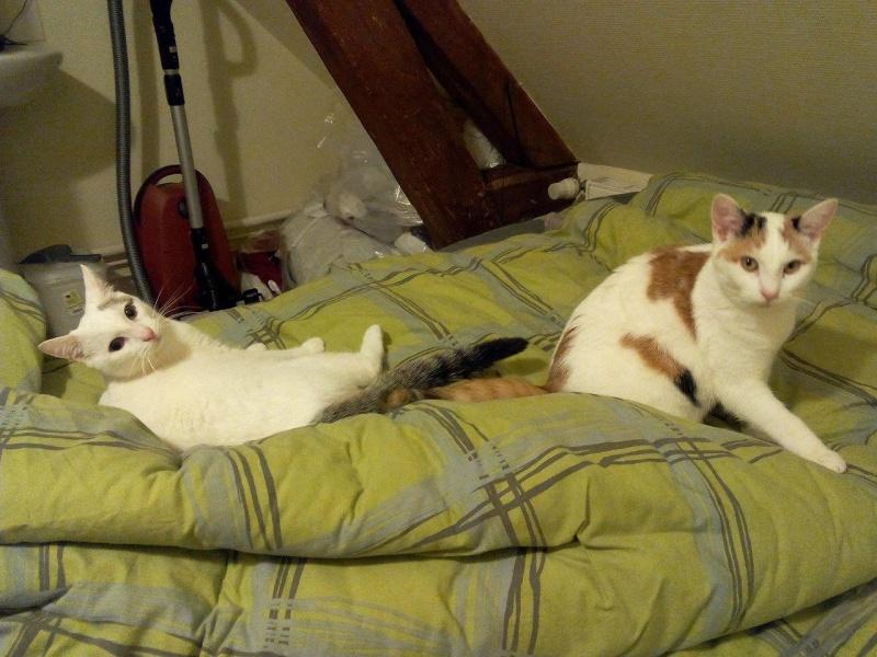 Liro - chaton blanc et tabby né le 15 Mai 2015 12696610