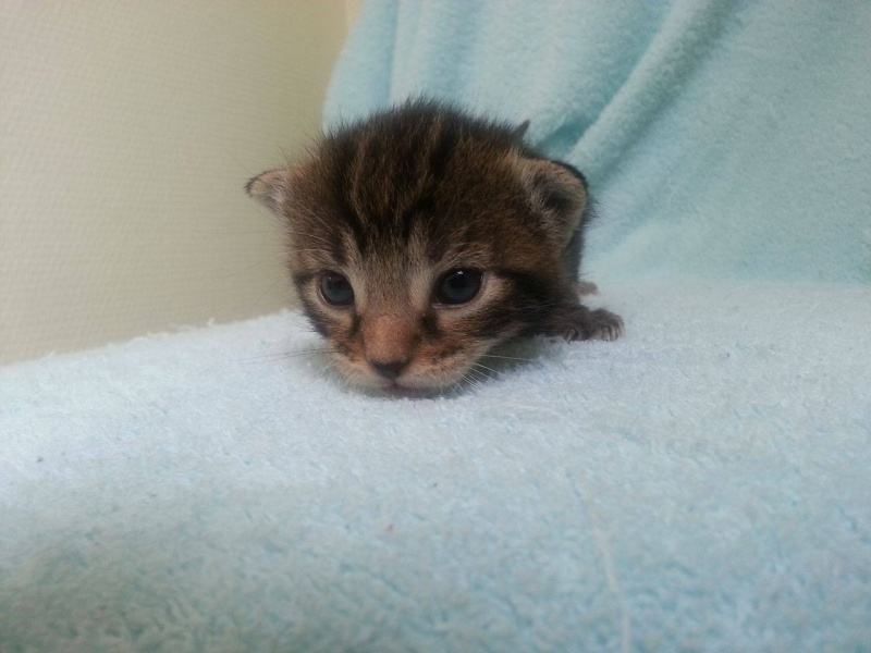 Macaron - Tabby - né le 26/04/2016 Macaro10