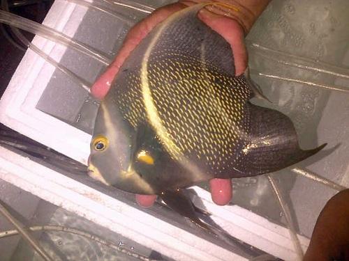 Foto Ikan Import ECOREEF sudah tiba 15 April 2016 Img-2013