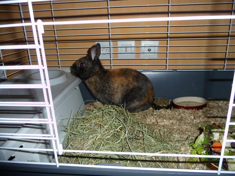 Urgence avant euthanasie - 2 lapins mâles P1160211