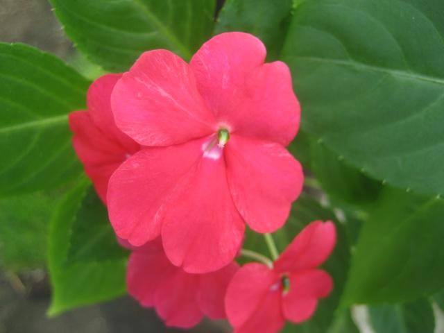 Couleurs fleurs impatiens goutte de sang hybrides - Page 4 Img_9623