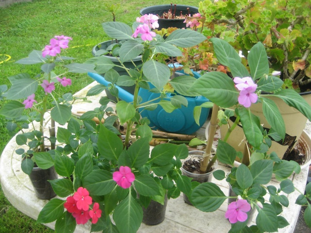Couleurs fleurs impatiens goutte de sang hybrides - Page 4 Img_9624