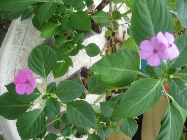 Couleurs fleurs impatiens goutte de sang hybrides - Page 4 Img_9625