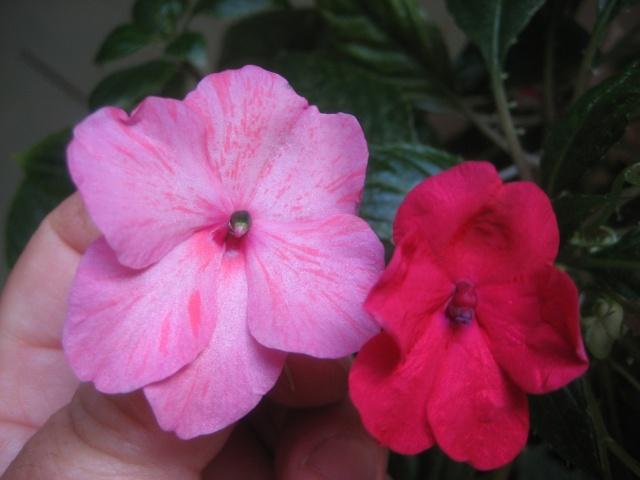 Couleurs fleurs impatiens goutte de sang hybrides - Page 4 Img_9626