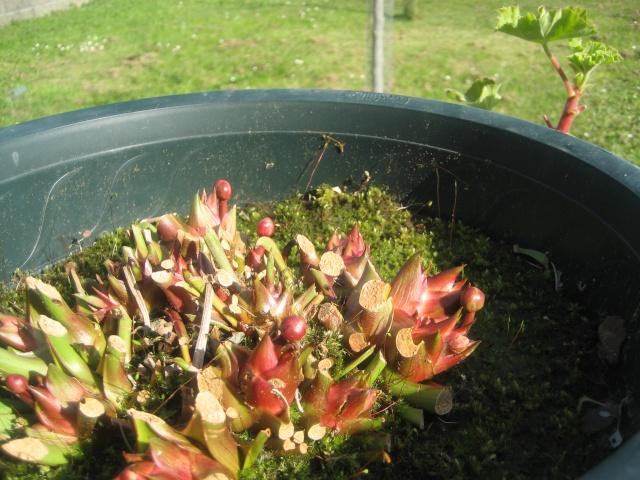 Fleur ( fanée ) de ma carnivore. Photo_12