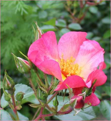 Rosa 'Yann Arthus Bertrand' !!! - Page 5 08052010