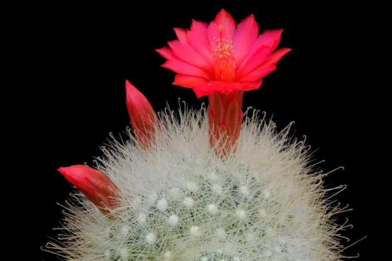 Mammillaria senilis  001mam10