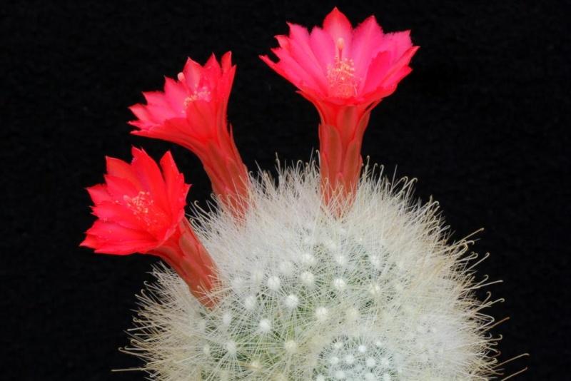 Mammillaria senilis  003mam10