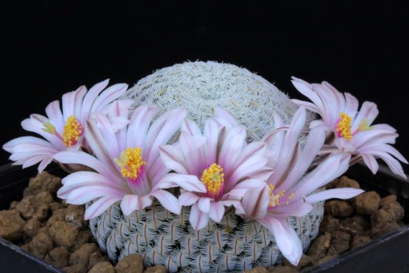 Mammillaria pectinifera 090mam10