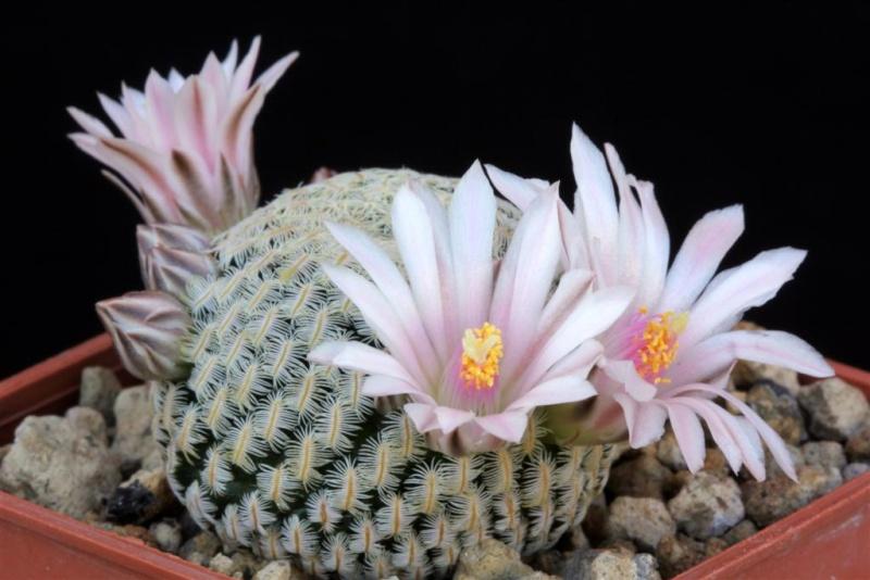 Mammillaria pectinifera 091mam10