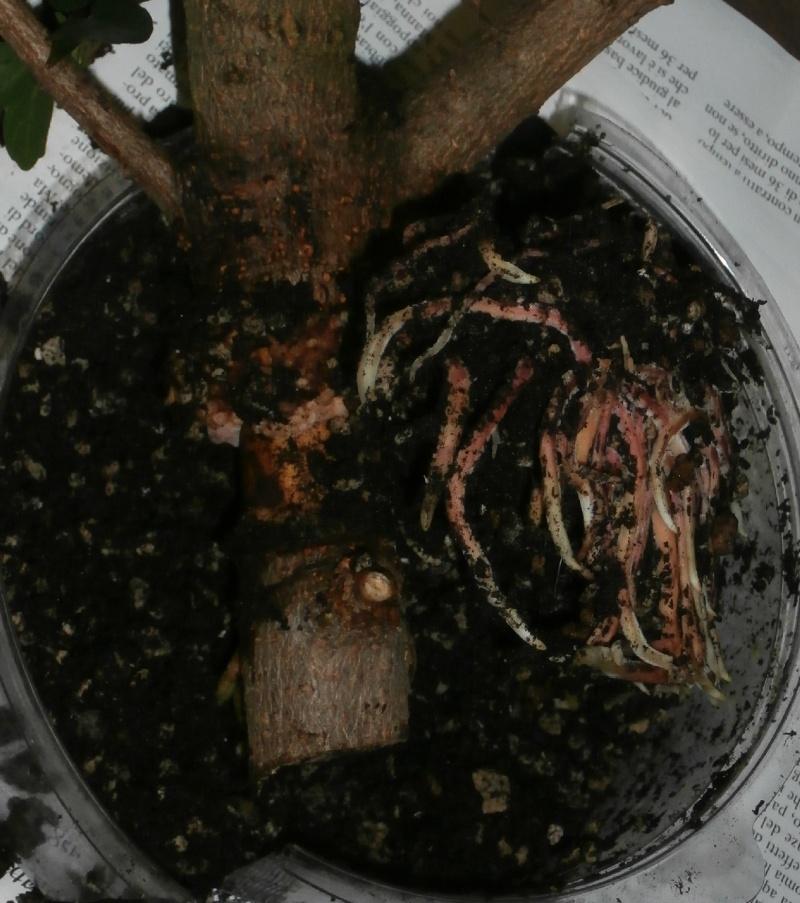 I miei aceri da seme (e da margotta) - Pagina 3 Margot12