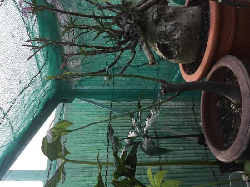 Le beau tronc de mon Chorisia speciosa  - Page 5 Image267