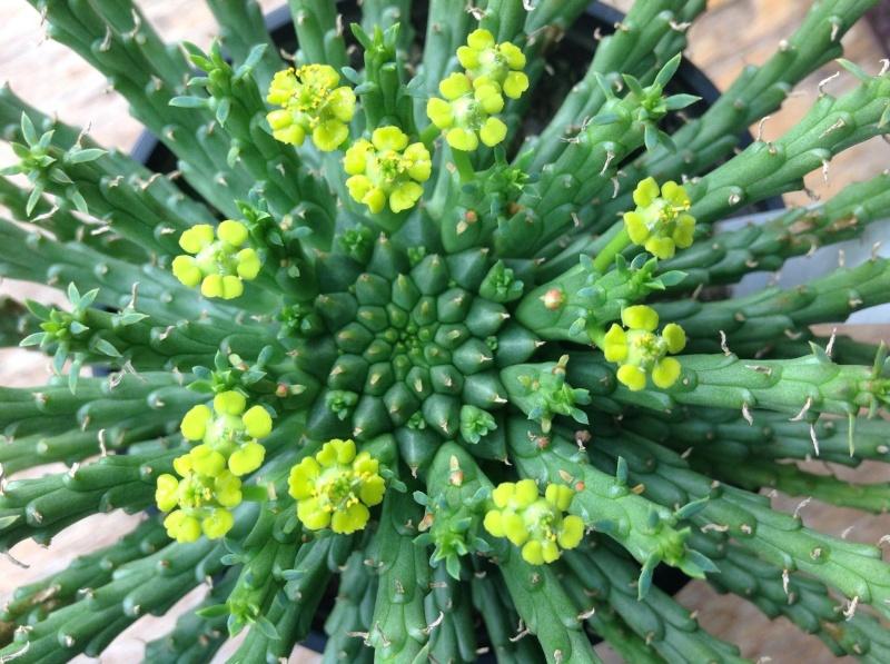 euphorbia flanaganii Image80