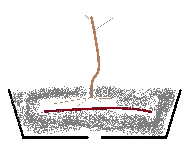 I miei aceri da seme (e da margotta) Immagi10