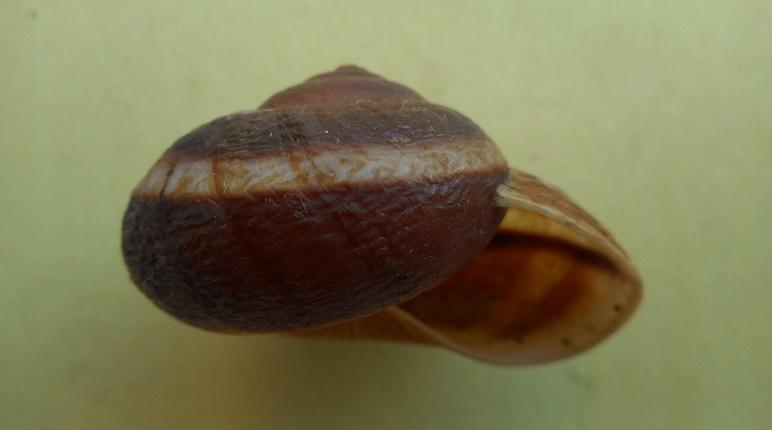 Hemiplecta obliqueundulata (van Benthem Jutting, 1959) Dscn7531