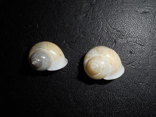 Leptopoma perlucidum (Grateloup, 1840) Dscn7611