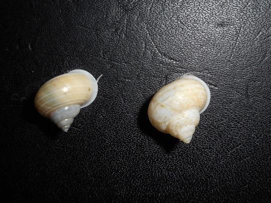 Leptopoma perlucidum (Grateloup, 1840) Dscn7612