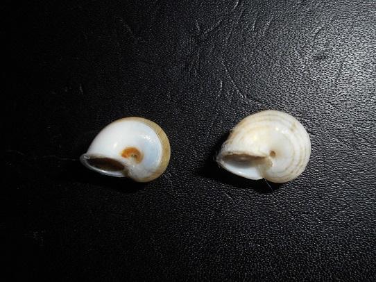 Leptopoma perlucidum (Grateloup, 1840) Dscn7614