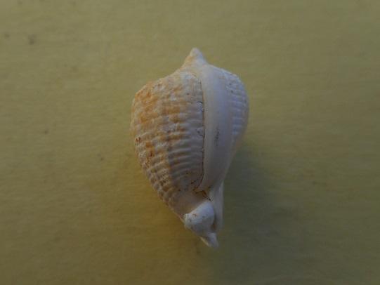 Petit cassidae du Gabon a identifier ?  Cypraecassis testiculus senegalica Dscn7620
