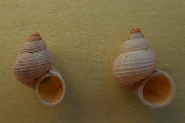 Tudorella sulcata (Draparnaud,1801) Dscn7714